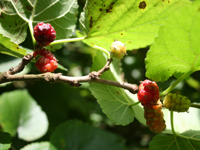 A Mulberry Afternoon