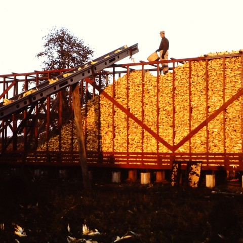 1970's - Filling the Corn Crib - Dad making sure it was full to the brim