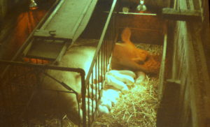 Sow with piglets, Roadhouse barn, 1960's